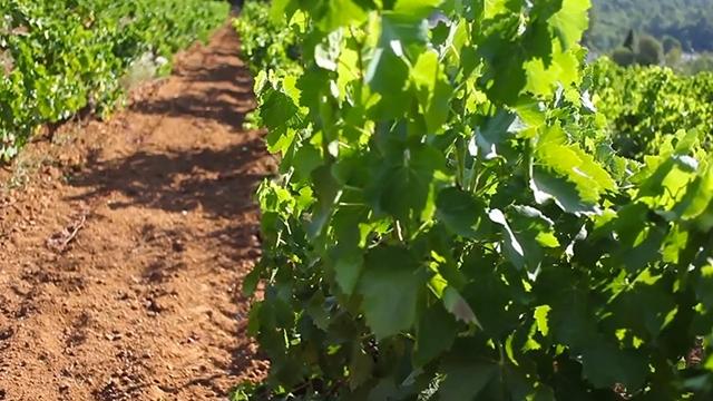 Paysage de vignes
